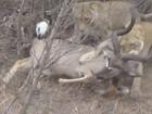 Turistas flagram leoas atacando grande antílope em parque africano