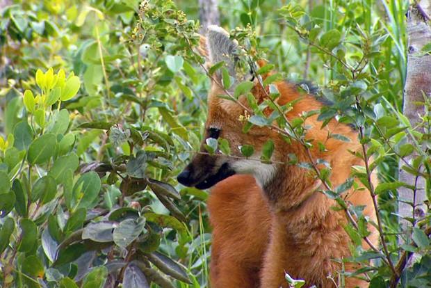 No Brasil essa espécie vive no cerrado, nos campos sulinos, na caatinga e também na borda do pantanal (Foto: Arquivo TG)