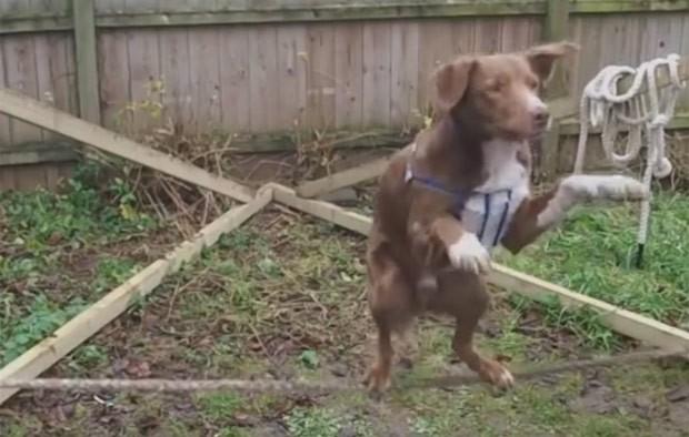 Cão se equilibrou em duas patas em corda bamba (Foto: Reprodução/YouTube/The Edge 96.1)