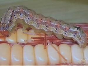 Nas culturas de milheto e melancia do Tocantins foram encontradas apenas a lagarta Helicoverpa zea  (Foto: Reprodução/TV Anhanguera)