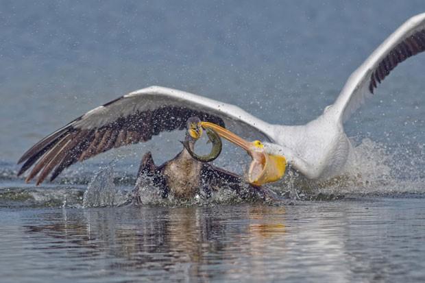 Pelicano atrevido foi flagrado roubando peixe de cormorão (Foto: Andrew Lee/Solnet/The Grosby Group)