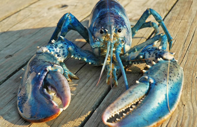 Lagosta azul é considerada amuleto de sorte entre os pescadores (Foto: Flickr/Creative Commons)