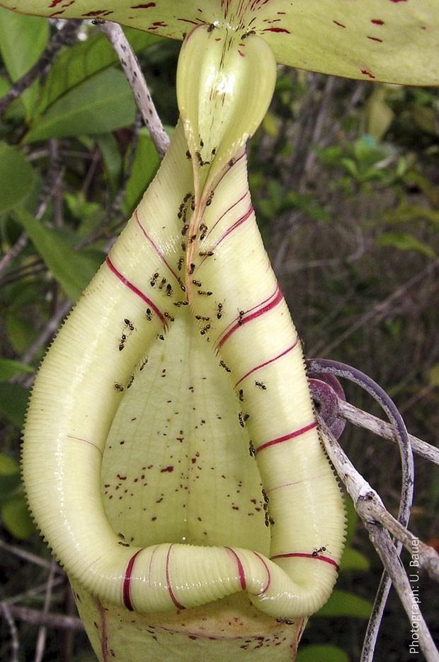 Planta da família Nepenthes atrai formigas com seu nectar e torna-se escorregadia para devorá-las de uma só vez (Foto: Reuters/Dr. Ulrike Bauer/Universidade de Bristol)