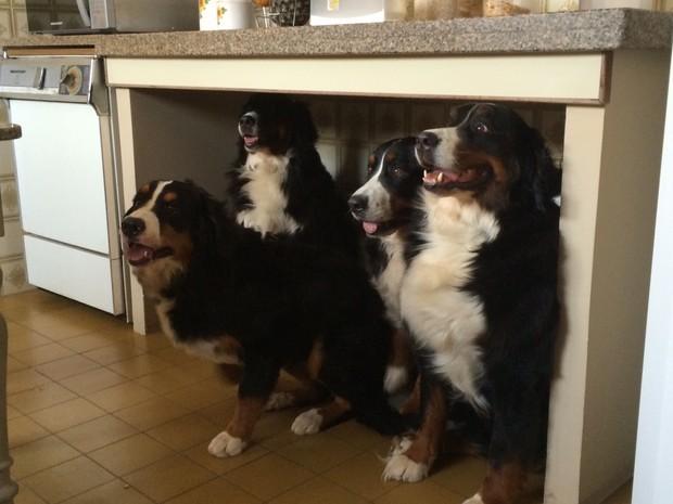 Cães da raça bernese participam de encontro (Foto: Ricardo Cançado/Arquivo pessoal)