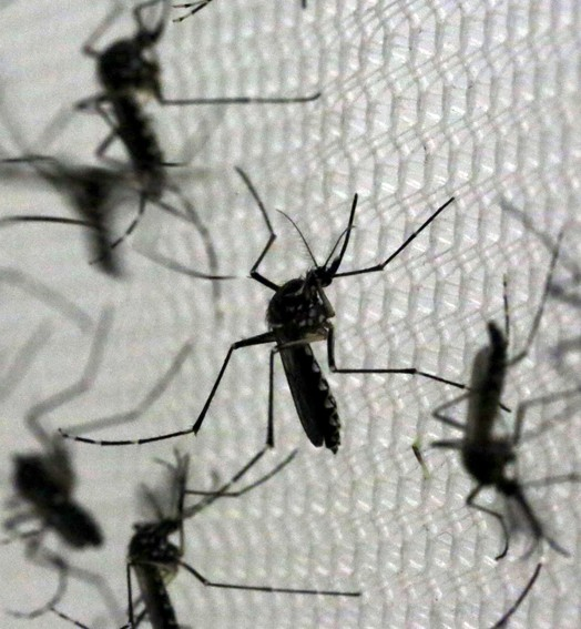 aedes aegypti (Paulo Whitaker/Reuters)