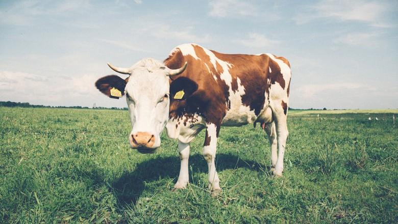 vaca-leite-bovino (Foto: Pexels)