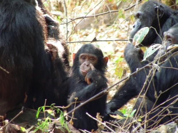 Bebê chimpanzé acompanhado de grupo de adultos; bactéria pode matar animais selvagens, diz estudo (Foto: Brian Szekely/Virginia Tech/Divulgação)