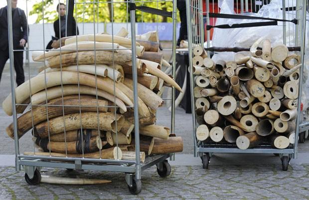 Peças de marfim que foram apreendidas nos últimos 25 anos foram destruídos em Bruxelas  (Fot John Thys/AFP)
