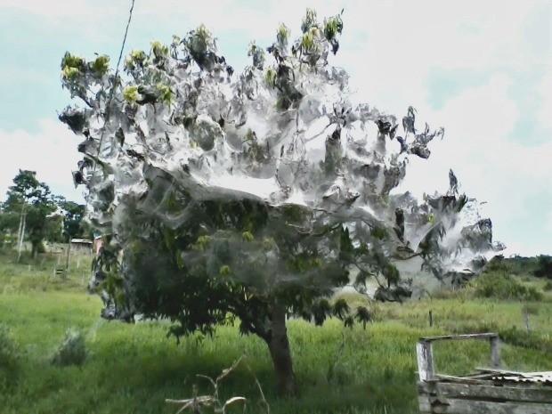 Uma árvore que fica em um sítio de São Felipe do Oeste (RO) chama a atenção de quem passa pelo local. Coberta de teias de aranha, as folhas da árvore estão completamente brancas (Foto: Fábio Matias/Pimenta Virtual)