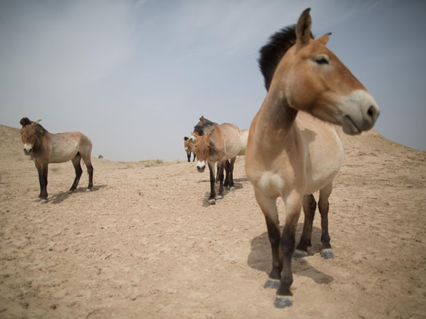 Cavalos Przewalski na reserva natural West Lake, na China (Foto: Ed Jones/AFP)