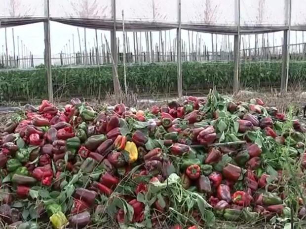 Produtores de pimentão estão jogando o legume no lixo (Foto: Reprodução/TV TEM)