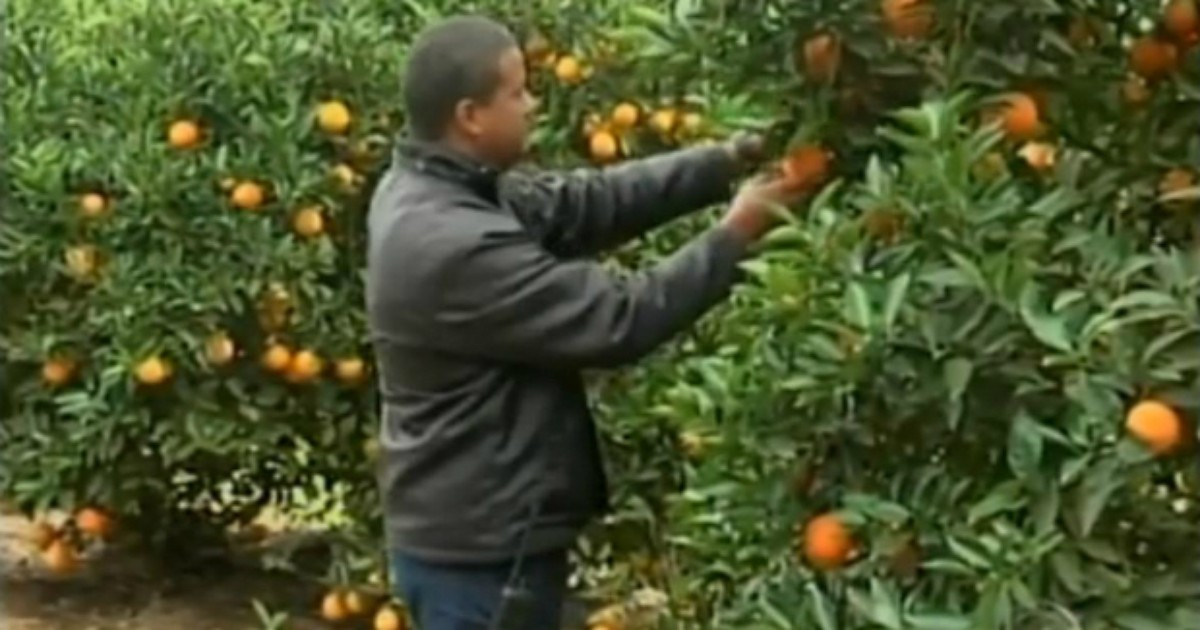 Censo sobre pomares de laranja é realizado na região de Itapetininga - Globo.com