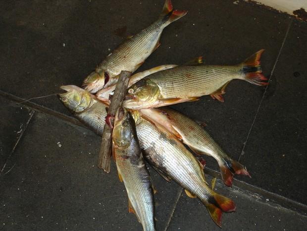 Sete peixes da espécie Dourado foram apreendidos em época de piracema (Foto: Divulgação PM)