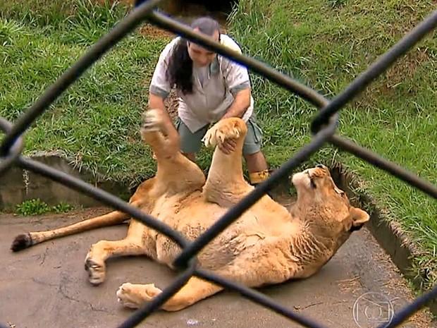 Leão brinca com tratador em área do santuário (Foto: Reprodução/TV Globo)