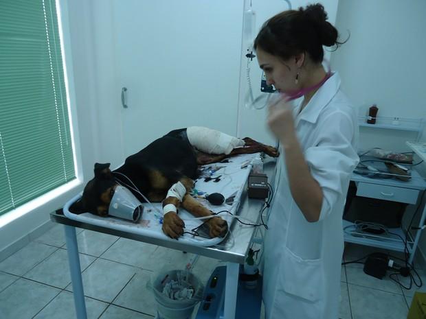 Cachorra é atendida após ser baleada por fazendeiro em Cajuru (Foto: Divulgação/Polícia Ambiental)