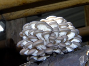 Fungicultor de Suzano fornece compostos de shimeji para exposição (Foto: Reprodução/TV Diário)