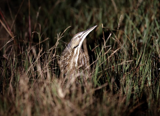 Pássaro conhecido como abetouro ('Botaurus lentiginosus') é fotografado no meio da grama (Foto: David J. Phillip/AP)