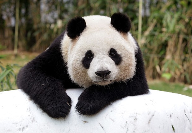 Panda em parque da Coreia do Sul (Foto: Chung Sung-Jun/Getty Images)