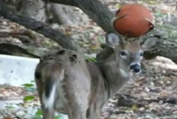 Andy Kovac flagrou veado com bola de basquete presa entre seus chifres (Foto: Reprodução/YouTube/Ngbi i)