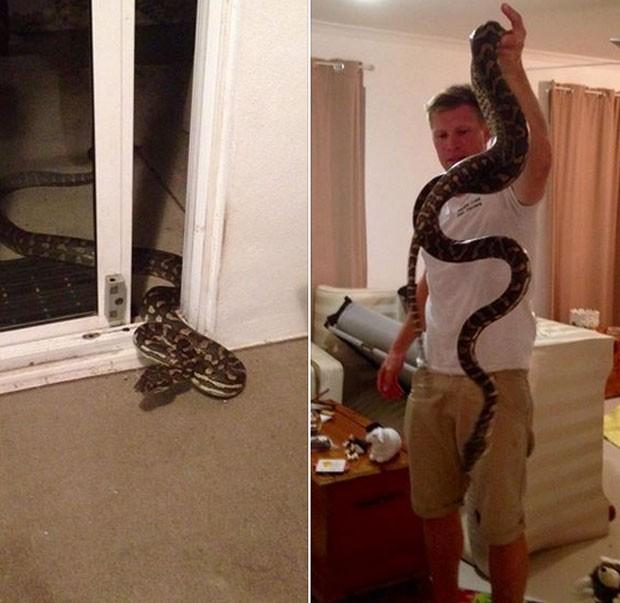 Píton entrou na sala de casa após dona deixar porta aberta (Foto: Reprodução/Facebook/Sunshine Coast Snake Catchers 24/7)