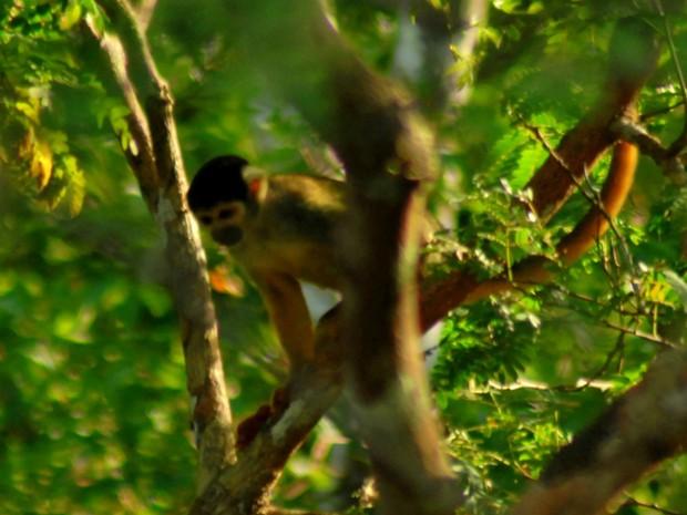 Macaco-de-cheiro, Pousada Uacari  (Foto: EduCoelho/Instituto Mamirauá)