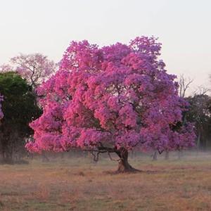 Internautas clicam florada de Ipês (Marina Moraes Barros/ Você no TG)