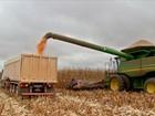 Colheita do milho avança em MT enquanto preço não para de cair