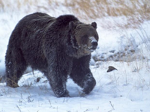 Scarface, o urso mais conhecido do Yellowstone National Park, em foto de outubro de 2005 (Foto: Ray Paunovich via AP, File)
