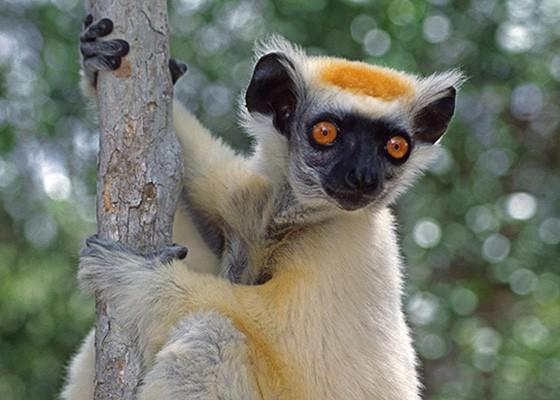 O sifaka-de-coroa-dourada só existe em fragmentos de florestas no norte de Madagascar  (Foto: © Haroldo Castro/ÉPOCA)