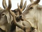 Rio Grande do Norte exporta gado vivo pela primeira vez na história
