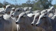 Redução de ICMS para bovinos movimento mercado interno