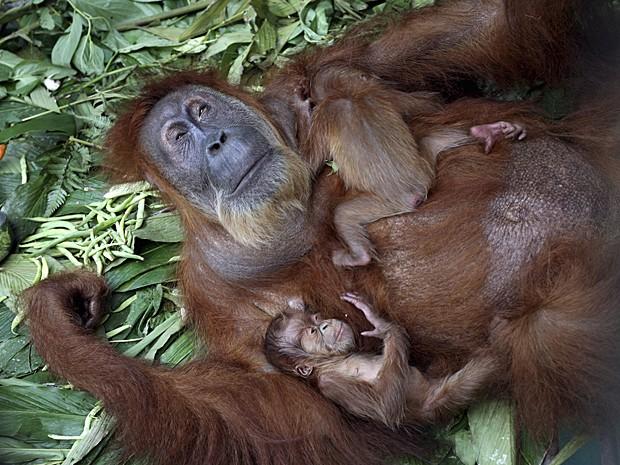 Orangotango (Fot Binsar Bakkara/Arquivo AP)