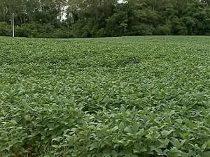 Cultivo de fumo vem diminuindo no Sul do estado (Foto: Reprodução/RBS TV)