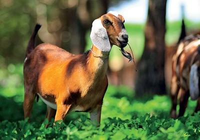 como_criar_cabras (Foto:  )