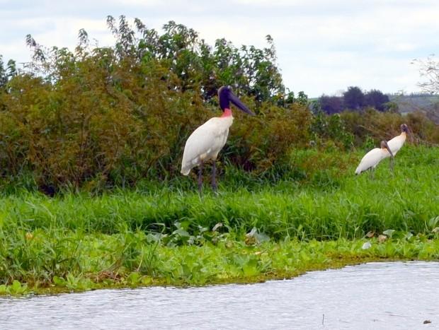 Tuiuiu é flagrado no mini-pantanal paulista, em Piracicaba (Foto: Fernanda Zanetti/G1)