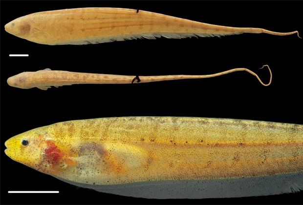 Peixes-elétricos da espécie 'Brachyhypopomus walteri' (Foto: Divulgação/Inpa/'Zookeys')