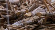 Produtores de cana-de-açúcar começam a fazer colheita promissora