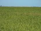 Em 2017, RS deve colher mais de 8 milhões de toneladas de arroz
