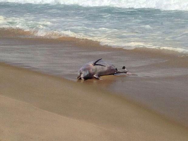 Golfinho é encontrado morto na Praia do Leblon (Foto: Guilherme Marques / TV Globo)