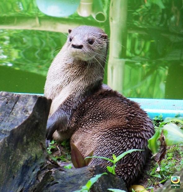 Lontras são preservadas desde 1986 na Lagoa do Peri (Fot Projeto Lontra/Divulgação)