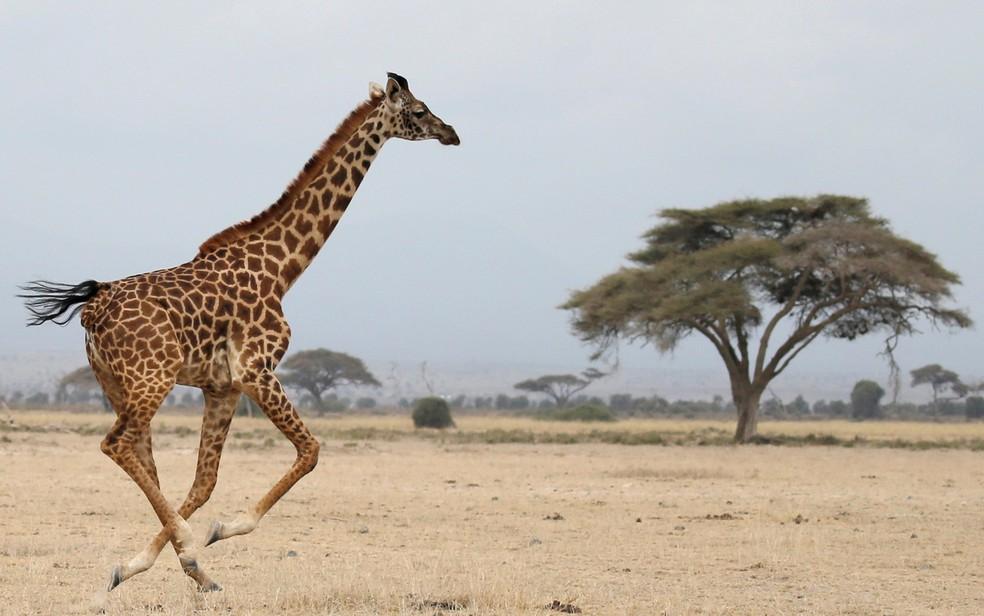 Girafa corre em Parque Nacional Amboseli, no Quênia, em foto de agosto de 2016  (Foto: Reuters/Goran Tomasevic/File Photo)
