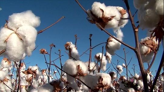 Chuva colabora para o aumento da produção de algodão na Bahia