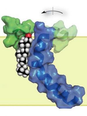 Estrutura microscópica da proteína (em verde e azul) aparece ligada ao colesterol (branco, preto e vermelho). (Foto: Charles Sanders and colleagues/Vanderbilt University)