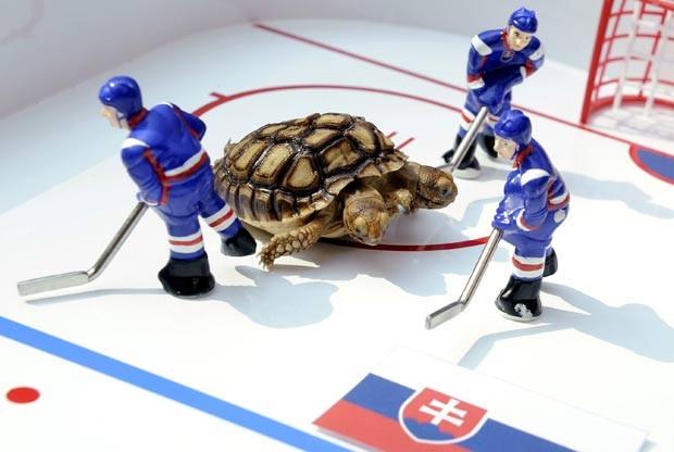 Em 2011, uma tartaruga-de-esporas-africana de duas cabeças chamada 'Magdalena' foi usada para dar palpites para os jogos do Campeonato do Mundo de hóquei no gelo, realizado na Eslováquia. (Foto: Radovan Stoklasa/Reuters)