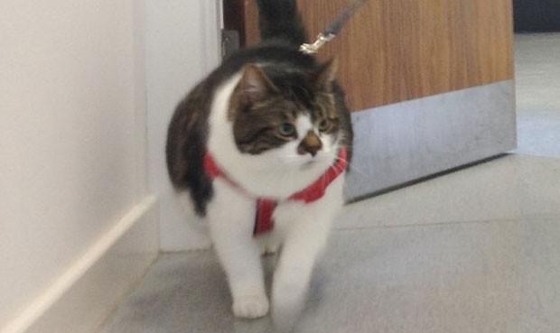Felino tem 11,5 quilos, enquanto seu peso ideal seria entre cinco e seis quilos (Foto: Divulgação/Scottish SPCA)
