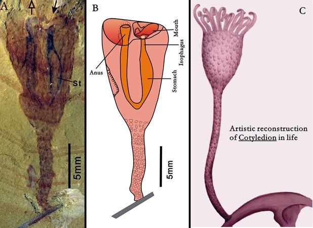 À esquerda, fóssil do 'Cotyledion tylodes'; ao centro e à direita, ilustrações apontam como seria o tubo digestivo do animal e um espécime vivo (Foto: 'Nature'/AFP)