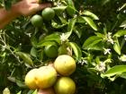 Safra brasileira de laranja 2015/16 deve crescer 10 milhões de caixas