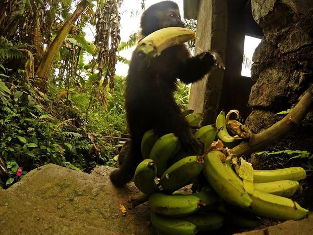 Macaquinho foi registrado roubando bananas deixadas em Peruíbe, SP (Foto: Guilherme Eleuterio / Arquivo Pessoal)