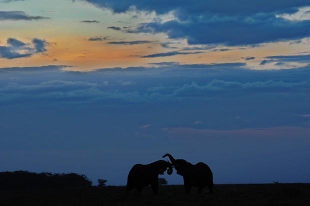 Elefantes interagem em Parque Nacional Amboseli, a 220 quilôpmetros de Nairobi. (Foto: AFP Photo/Tony Karumba)