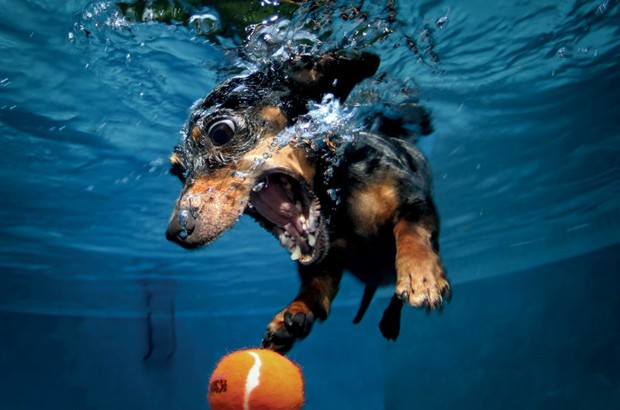 Animais da raça dachshund, como Rhoda, na foto, são dos que mais se transformam embaixco d'água (Foto:  Seth Casteel/BBC)